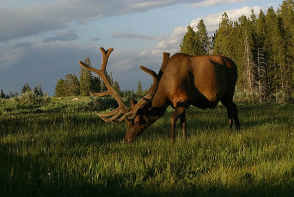 Giant Bull Elk